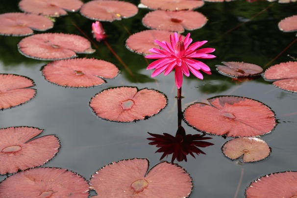 Lotus and reflection and leaves