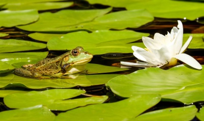 froglily